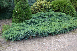 Ялівець лускатий Blue Carpet 3 річний, Можжевельник чешуйчатый Блю Карпет, Juniperus squamata Blue Carpet, фото 3