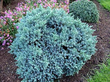 Ялівець лускатий Blue Star 3 річний, Можжевельник чешуйчатый Блю Стар, Juniperus squamata Blue Star