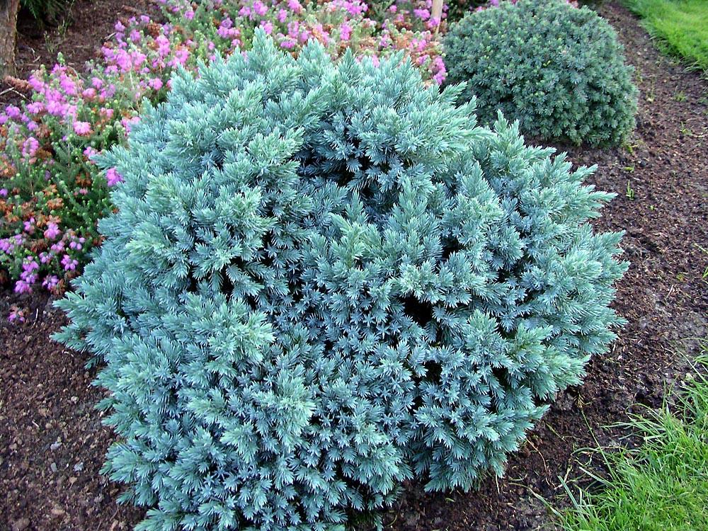Ялівець лускатий Blue Star 4 річний, Можжевельник чешуйчатый Блю Стар, Juniperus squamata Blue Star