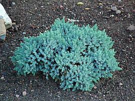 Ялівець лускатий Blue Star 4 річний, Можжевельник чешуйчатый Блю Стар, Juniperus squamata Blue Star, фото 2