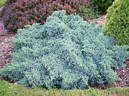 Ялівець лускатий Blue Star 4 річний, Можжевельник чешуйчатый Блю Стар, Juniperus squamata Blue Star, фото 3