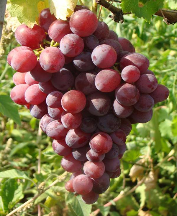 Саженцы винограда Нинель (привитые)