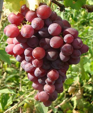 Саженцы винограда Нинель (привитые), фото 2
