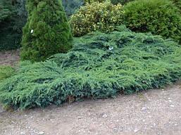 Ялівець лускатий Blue Swede 4 річний, Можжевельник чешуйчатый Блю Свид / Ханнеторп,  Juniperus Hunnetorp , фото 2