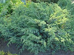 Ялівець лускатий Blue Swede 4 річний, Можжевельник чешуйчатый Блю Свид / Ханнеторп,  Juniperus Hunnetorp , фото 3