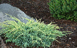 Ялівець лускатий Holger 3 річний, Можжевельник чешуйчатый Холгер, Juniperus squamata Holger , фото 2