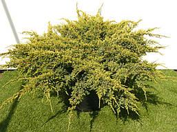 Ялівець лускатий Holger 3 річний, Можжевельник чешуйчатый Холгер, Juniperus squamata Holger , фото 3