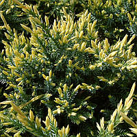 Ялівець лускатий Holger 3 річний, Можжевельник чешуйчатый Холгер, Juniperus squamata Holger