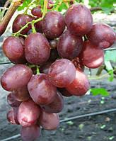 Саженцы винограда Памяти Учителя (корнесобственные)