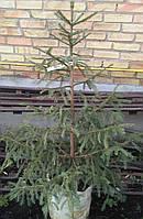 Ель европейская / Picea abies 1,0-1,2м в контейнере