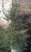 Ель европейская / Picea abies 1,4-1,5м в контейнере