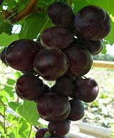 Саженцы винограда Бодрый (корнесобственные)