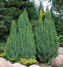 Ялівець лускатий Loderi 3 річний, Можжевельник чешуйчатый Лодери, Juniperus squamata Loderi , фото 3