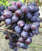 Саженцы винограда Заря Несвятая (корнесобственные)