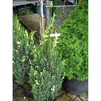 Можжевельник китайский - Juniperus chinensis Stricta Variegata (Н 60-80 см, горшок 7.5л)