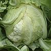 САНТАМАРИЯ F1 - семена капусты цветной, 1 000 семян, Rijk Zwaan