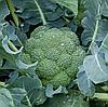 РЕГГИ F1 - семена капусты брокколи, 1 000 семян, Rijk Zwaan