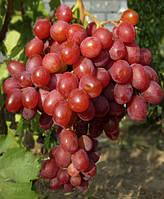 Виноград сорт Рубиновый Юбилей