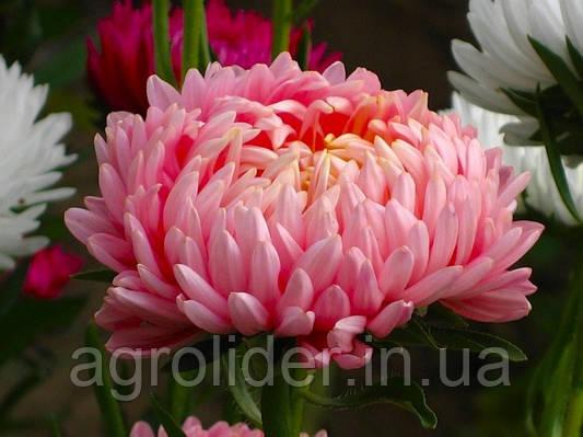 Астры – альтернатива экзотическим растениям в саду