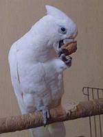 Говорящий попугай Какаду Гоффина
