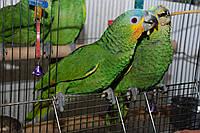 Венесуэльский зеленый амазон! Ручные полностью птенцы