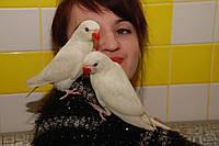 Ручной Белый Ожереловый попугай
