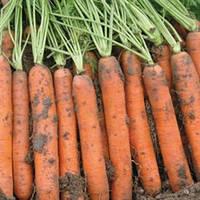 Семена моркови Наполи F1 1,6-1,8 мм (25 000) ранняя тип нантес