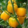 Семена перца сладкого Бачата F1 (100 с)