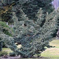 Ялівець лускатий Meyeri 3 річний, Можжевельник чешуйчатый Мейери, Juniperus squamata Meyeri