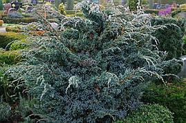 Ялівець лускатий Meyeri 3 річний, Можжевельник чешуйчатый Мейери, Juniperus squamata Meyeri, фото 2