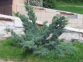 Ялівець лускатий Meyeri 3 річний, Можжевельник чешуйчатый Мейери, Juniperus squamata Meyeri, фото 3