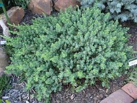Ялівець прибережний Blue Pacific 3 річний, Можжевельник прибрежный Блю Пасифик Juniperus conferta Blue Pacific, фото 3