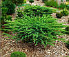 Ялівець прибережний Schlager 3 річний, Можжевельник прибрежный Шлягер,  Juniperus conferta Schlager