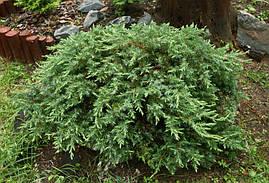 Ялівець прибережний Schlager 3 річний, Можжевельник прибрежный Шлягер,  Juniperus conferta Schlager, фото 2