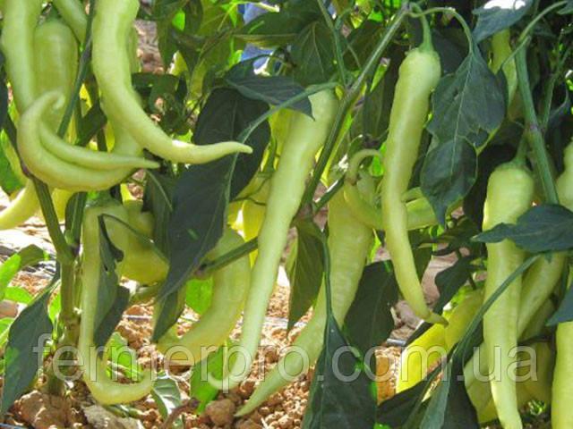 Семена перца острого Хомера F1 / Homera F1 500 семян Enza Zaden