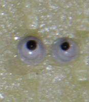 Глаза бегающие 2,5 мм.