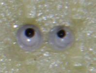 Глаза бегающие 3 мм.