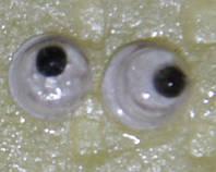 Глаза бегающие 4 мм.