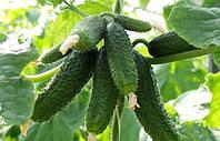 Семена огурца Амур (1000 шт) самоопыляемый Bejo Zaden