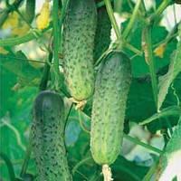 Семена огурца Гранина (250 шт) самоопыляемый Rijk Zvaan