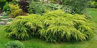Ялівець середній Gold Coast 3 річний, Можжевельник средний Голд Кост, Juniperus media Gold Coast