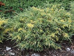 Ялівець середній Blue and Gold 3 річний, Можжевельник средний Блю энд Голд Juniperus рfitzeriana Blue and Gold , фото 2