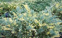 Ялівець середній Blue and Gold 3 річний Можжевельник средний Блю энд Голд Juniperus рfitzeriana Blue and Gold