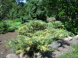 Ялівець середній Blue and Gold 3 річний, Можжевельник средний Блю энд Голд Juniperus рfitzeriana Blue and Gold , фото 3