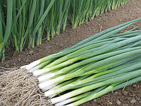 Семена лука на перо Кайгаро F1 \ Kaigaro F1 50.000 семян Enza Zaden