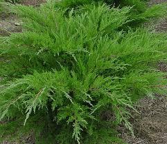 Ялівець середній Mint Julep 3 річний Можжевельник средний Минт Джулеп Juniperus media / pfitzeriana Mint Julep