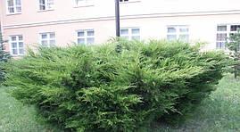 Ялівець середній Mint Julep 3 річний Можжевельник средний Минт Джулеп Juniperus media / pfitzeriana Mint Julep, фото 3