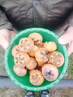 Мушмула германская (кавказская), фото 1