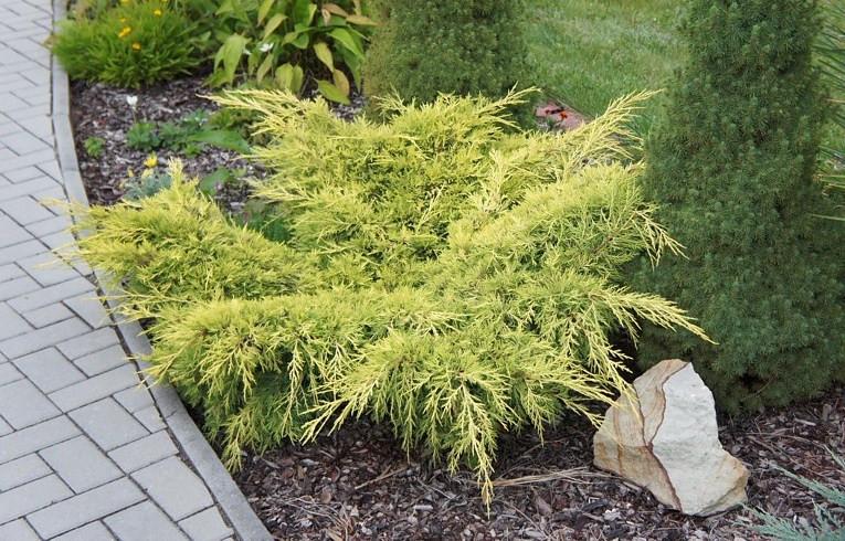 Ялівець середній Old Gold 3 річний, Ялівець середній Олд Голд, Juniperus media / pfitzeriana Old Gold