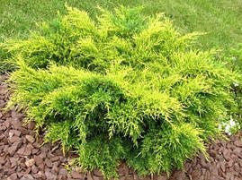 Ялівець середній Old Gold 3 річний, Ялівець середній Олд Голд, Juniperus media / pfitzeriana Old Gold, фото 2